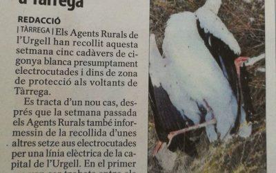 Nou cas de cigonyes electrocutades a Tàrrega